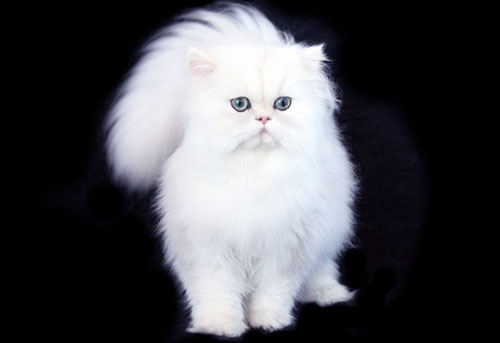Get your own Teacup Persian White Teacup Persian Kitten