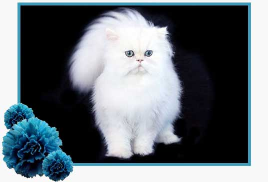 Teacup persian cats for sale in nj