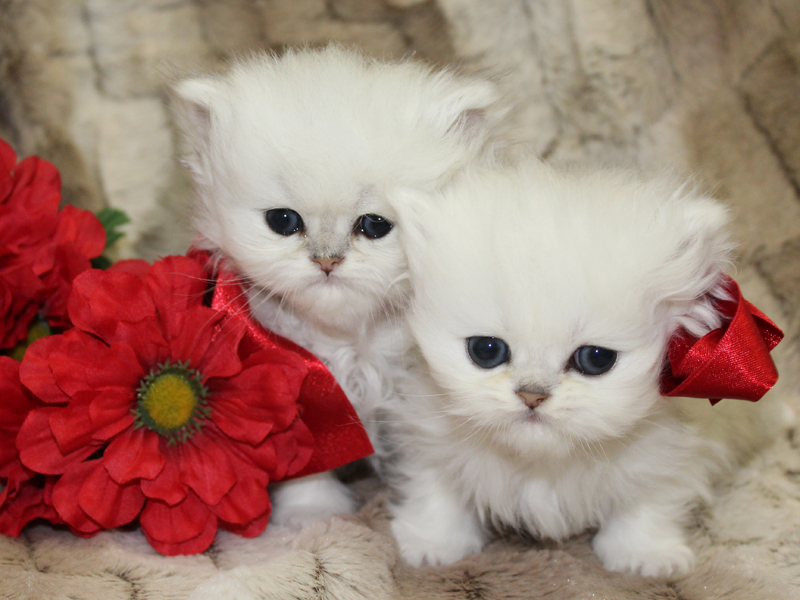 teacup-persian-kittens-for-sale (1) - CatsCreation