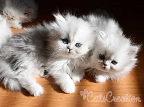 50+ Adorable Persian Cat Photos and Images | Golfian.com |Baby Doll Face Kittens