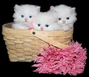 Teacup Kittens for Sale, Persian Kittens Florida, Doll Face