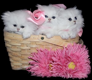 Teacup Kittens For Sale Persian Kittens Florida Doll Face