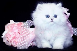 Teacup Persian Kitten Breeders Cats Creation Teacup Persian Kittens For Sale