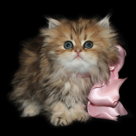 Available Teacup Persian Kittens - Cats Creation