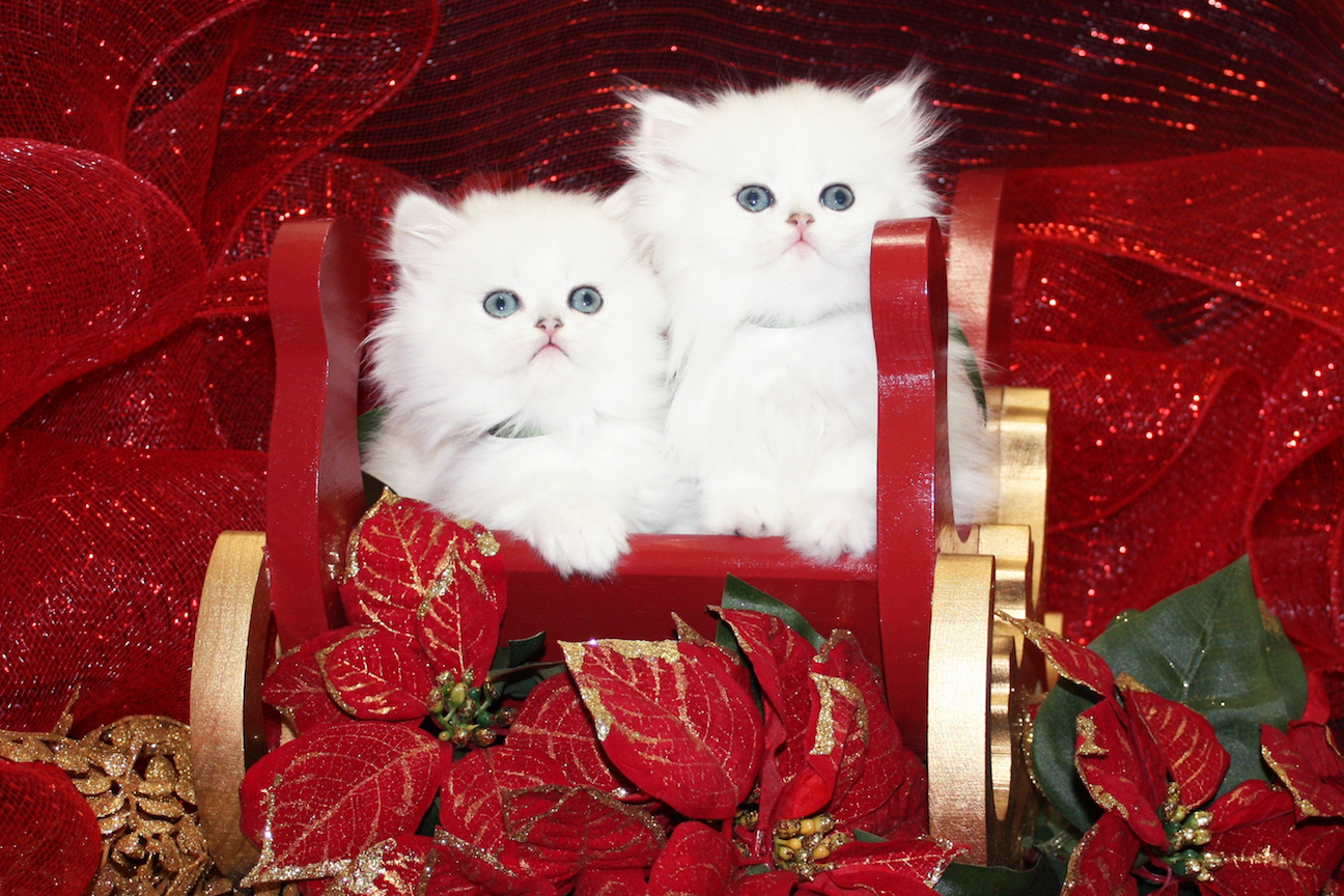 Available Teacup Persian Kittens Cats Creation