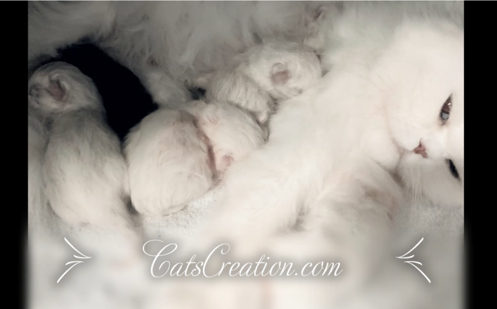 Teacup Persian Kittens Available - Cats Creation